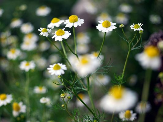 click to free download the wallpaper--Chamomile Plant Image, Blooming Flowers on Thin Green Branch, Incredible Look