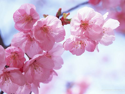 click to free download the wallpaper--Cherry Blossom Picture, Pink and Romantic Cherries, the Blue Sky