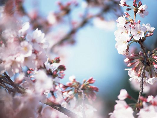click to free download the wallpaper--Cherry Blossom Wallpaper, Cherries on Thin Branch, the Blue Sky