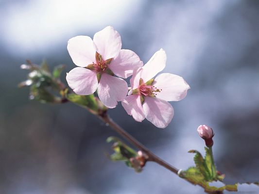click to free download the wallpaper--Cherry Blossom Wallpaper, Pink Cherries on Thin Green Branch, Fresh Scene