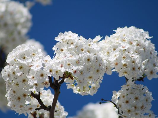 click to free download the wallpaper--Cherry Flowers Bundle, White Flowers Under the Blue Sky, Incredible Look