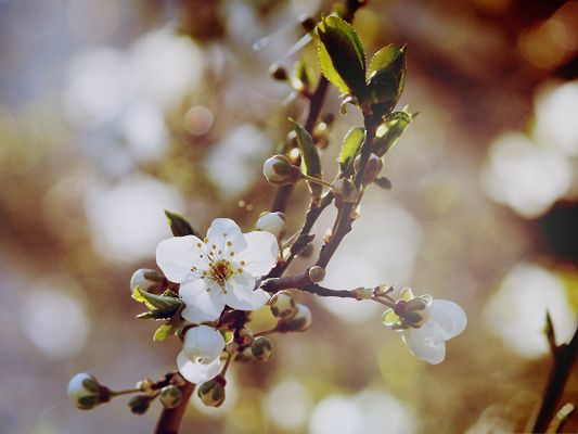 click to free download the wallpaper--Cherry Flowers Image, Cherry Flowers in Bud, Bubble and Fuzzy Background