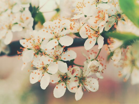 click to free download the wallpaper--Cherry Flowers Image, White Blooming Cherries, Thick Green Branch