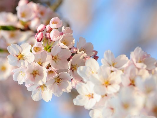 click to free download the wallpaper--Cherry Flowers Image, White and Pure Flowers in Bloom, Spring Scenery