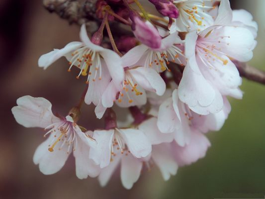 click to free download the wallpaper--Cherry Flowers Photography, Blooming Cherries on Thin Branch, Impressive Scene