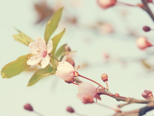 click to free download the wallpaper--Cherry Flowers Photography, Little White Flowers Blooming, Romantic Scene