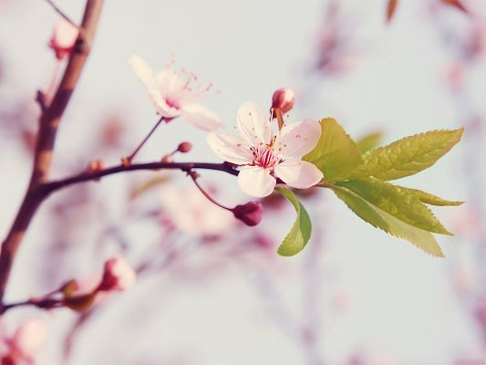 click to free download the wallpaper--Cherry Flowers Photography, Little White Flowers in Bloom, Clean and Romantic Scene