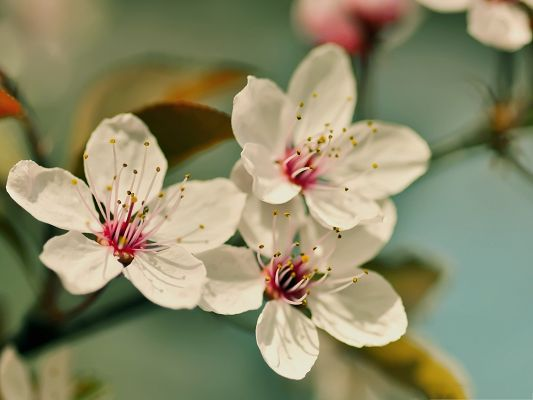 click to free download the wallpaper--Cherry Flowers Photography, White Cherries on Green Thin Branch, Fresh Scene