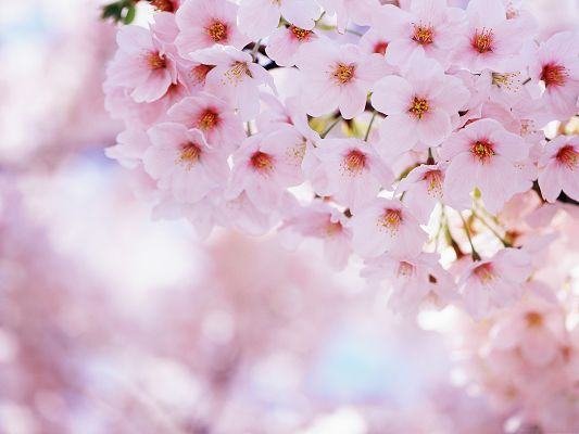click to free download the wallpaper--Cherry Flowers Picture, Pink Blooming Flower, Incredible Look