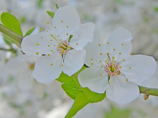 click to free download the wallpaper--Cherry Flowers Picture, Two Blooming Flowers, Welcoming the Great Season