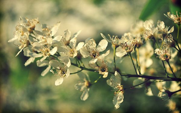 Cherry Flowers in Full Blossom, Cherries Will Soon Show up, You Can Expect the Tasty Fruit - Natural Scenery Wallpaper