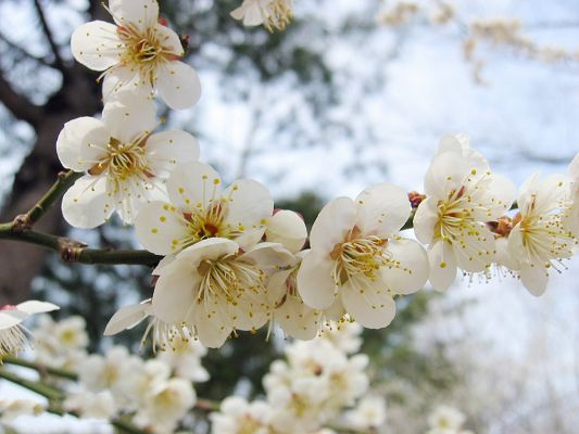 click to free download the wallpaper--Cherry Images, White Flowers in Bloom, Thin Green Branch