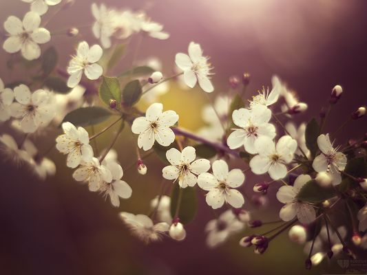 Cherry Plum Flowers, White and Tiny Flowers on Pink Background