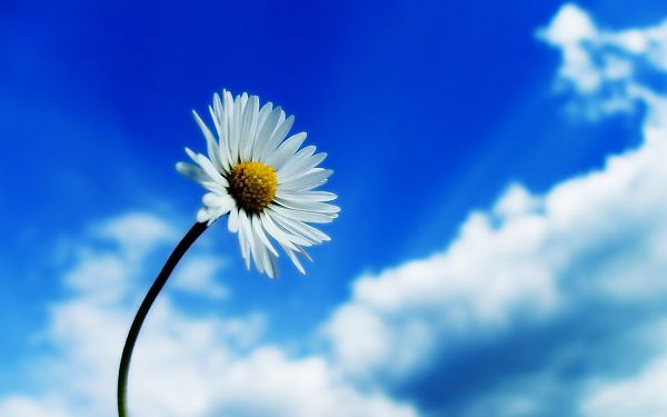 click to free download the wallpaper--Chrysanthemum Flower Image, Bloom to Embrace the Blue Sky