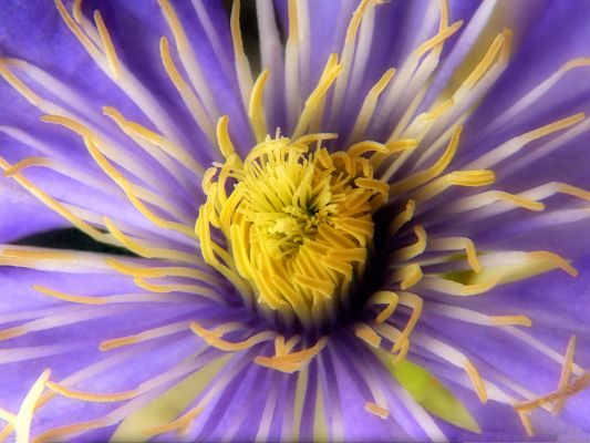 click to free download the wallpaper--Clematis Flowers Picture, Purple Flower in Bloom, Golden Stamen, Great in Look
