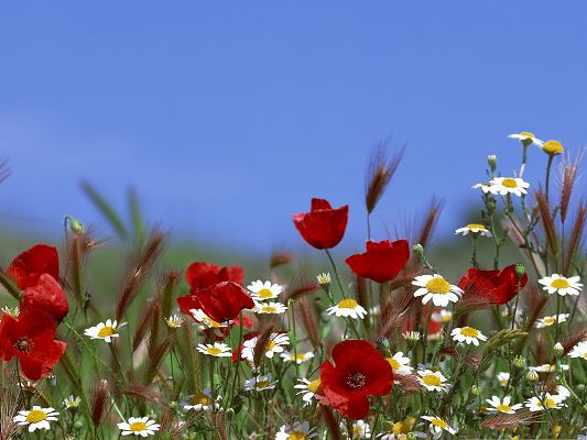 click to free download the wallpaper--Colorful Flowers Field, Beautiful Flowers Under the Blue Sky, Amazing Scene