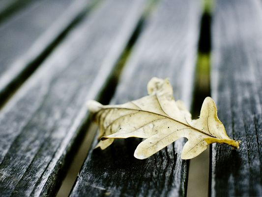 click to free download the wallpaper--Computer Background Wallpaper, Oak Leaf On Wooden Bench, Do You Miss the Tree?