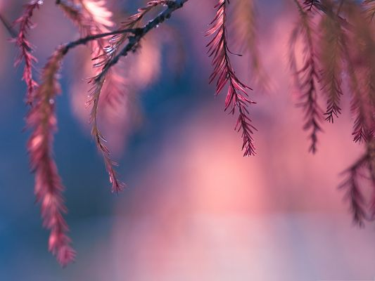 click to free download the wallpaper--Computer Background Wallpaper, Pink Conifer Tree Branch, Amazing Look