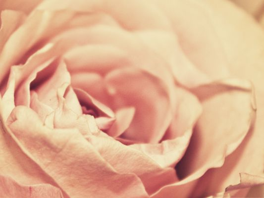 click to free download the wallpaper--Computer Background Wallpaper, Pink Rose Petals, Blooming Beauty