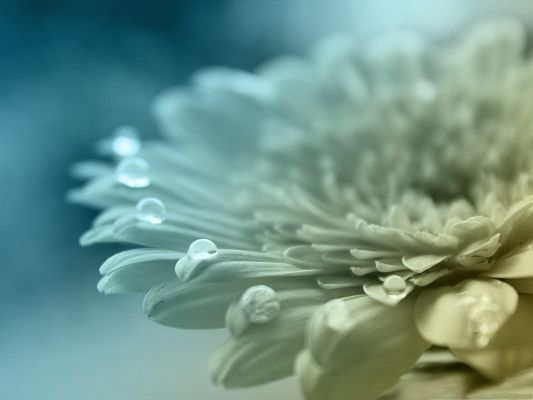 click to free download the wallpaper--Computer Background Wallpaper, White Gerbera in Bloom, Waterdrop on Each Petal