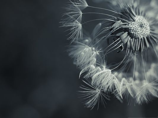 click to free download the wallpaper--Computer Wallpapers Free, Beautiful Dandelion, Take Your Dream Fly!