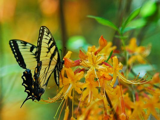 click to free download the wallpaper--Computer Wallpapers Free, Black Butterfly on Blooming Yellow Flower