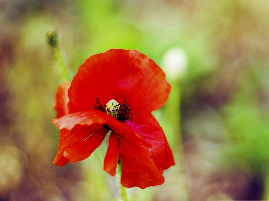 Computer Wallpapers HD, Red Poppy in Bloom, Green Grass as the Best Decoration