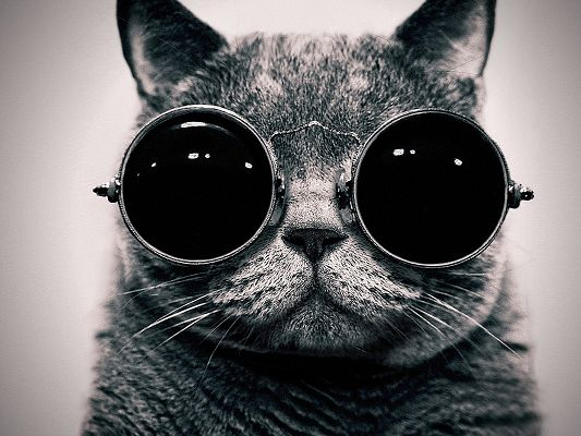 click to free download the wallpaper--Cool Animals Post, Kitty in Big and Dark Sunglasses, Short Hair