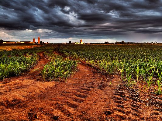 click to free download the wallpaper--Corn Plants Photography, Low Corns Under the Cloudy Sky, Great Rural Scene