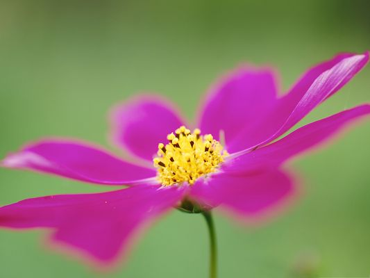 click to free download the wallpaper--Cosmos Flower Image, Pink Flower on Green Background, Yellow Stamen