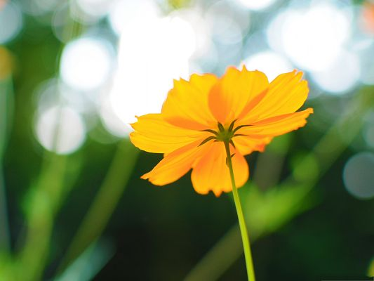click to free download the wallpaper--Cosmos Flower Image, Yellow Flower on Green Background, Late Summer Scene