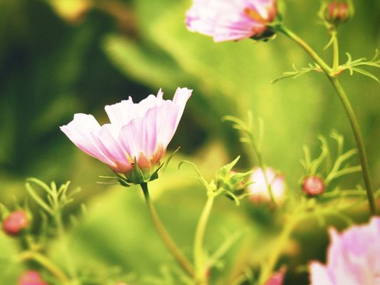 click to free download the wallpaper--Cosmos Flowers Image, Pink Cosmos Under Macro Focus, Great and Impressive Scene