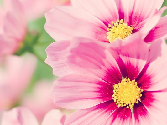 click to free download the wallpaper--Cosmos Flowers Image, Pink Flower in Bloom, Romantic and Clean Scene