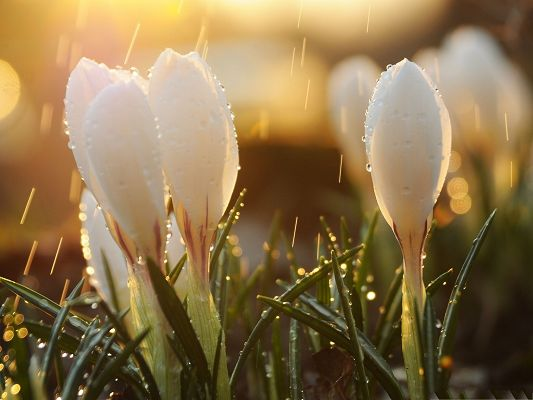 click to free download the wallpaper--Crocus Flower Picture, White and Pure Flower in the Rain, Morning Scene