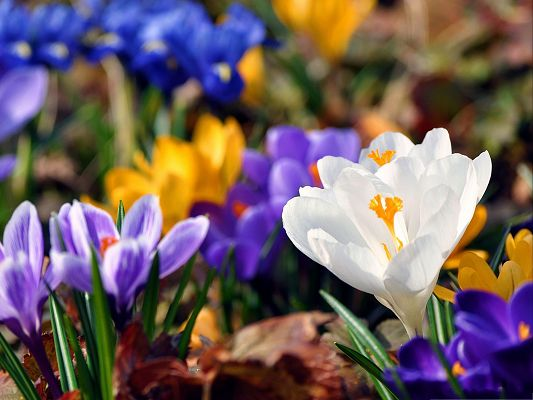 click to free download the wallpaper--Crocus Flowers Pic, Colorful Flowers in Bloom, Green Leaves, Great Scenery