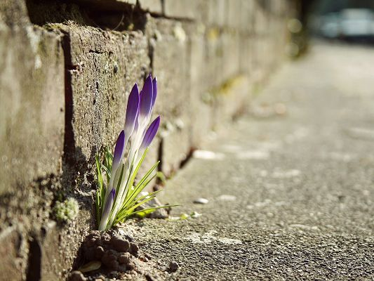click to free download the wallpaper--Crocus Flowers Wallpaper, Tiny Flower in the Crack, an Attraction Among the Gray