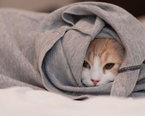 click to free download the wallpaper--Cute Animal Images, Kitty Hiding in T-Shirt, Eyes Half Closed, Expecting a Sound Sleep
