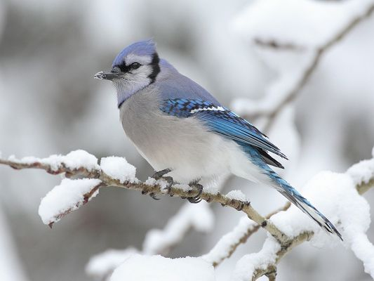 click to free download the wallpaper--Cute Animal Photo, a White and Blue Bird on Snowy Branch, Too Good to be True