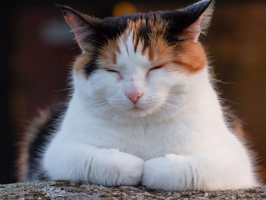 click to free download the wallpaper--Cute Animal Pics, a Lazy and Chubby Kitty, About to Fall into Sound Sleep