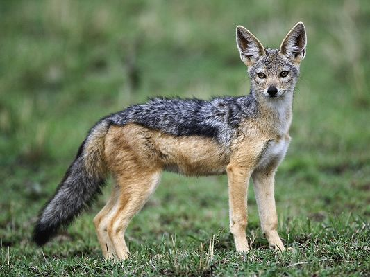 Cute Animal Poster, Black Backed Jackal, Peaceful Facial Expression, What a Cutie!