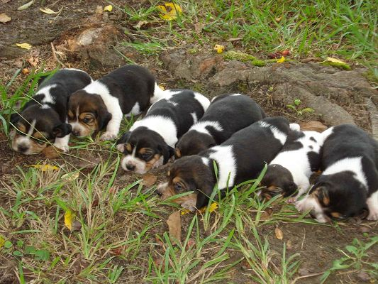 click to free download the wallpaper--Cute Animals Image, Beagle Puppies Unwilling to Open the Eyes, Sound Sleep Outdoor