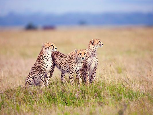 Cute Animals Image, Cheetah Family, All Hungry, Need Little Animals