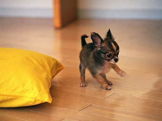 click to free download the wallpaper--Cute Animals Image, Chihuahua Puppy in Play, Endless Happiness