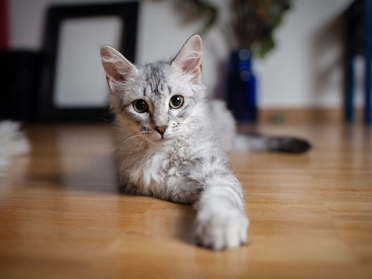click to free download the wallpaper--Cute Animals Image, Gray Kitten Indoor, Attentive Look, Shall be Impressive