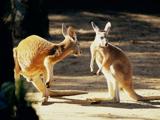 click to free download the wallpaper--Cute Animals Image, Kangaroos Talking, a Nice Conversation