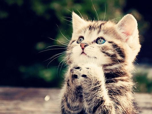 click to free download the wallpaper--Cute Animals Image, Kitten in Praying Pose, Be Sincere and It Will Come True