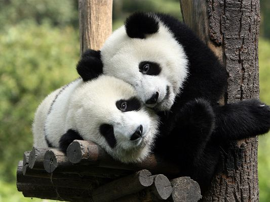click to free download the wallpaper--Cute Animals Image, Two Pandas Hugging Each Other, Great Lovers