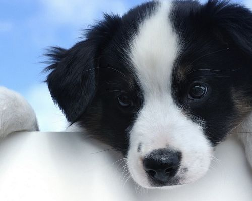 click to free download the wallpaper--Cute Animals Image, White and Black Puppy, Wide Open Eyes, Shall be Impressive
