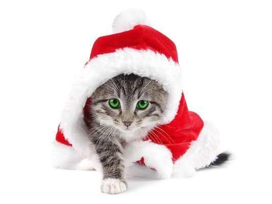 click to free download the wallpaper--Cute Animals Image, a Cute Cat in Santa Suit, Will It Deliver Gifts?