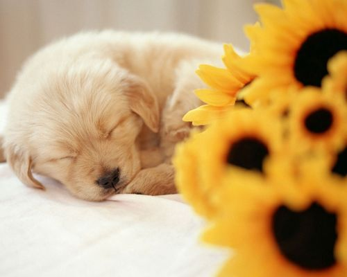 click to free download the wallpaper--Cute Animals Image, a Puppy in Sound Sleep, Yellow Flowers Around, Hard to Wake Up